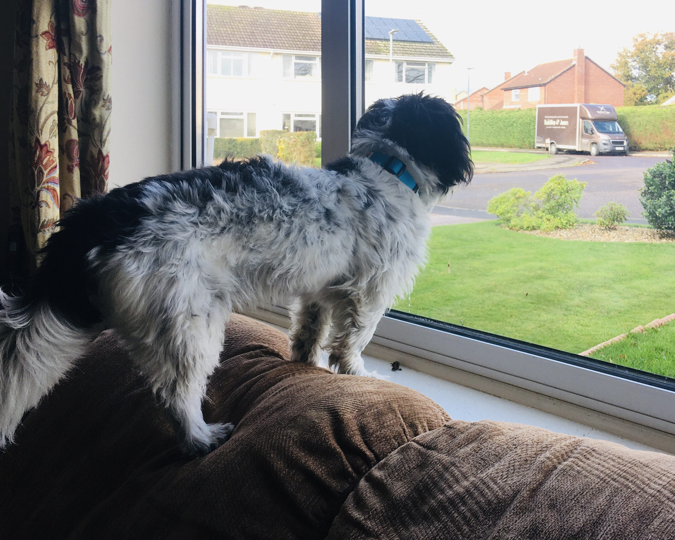 A black and white dog standing on the back of a brown sofa, looking out of a large window. Out of the window is grass, a street and houses.